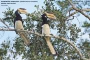 081.036.Anthracoceros coronatus001.Yala NP.Sri Lanka.1.12.2018