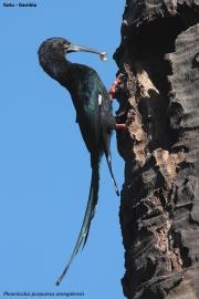 Phoeniculus_purpureus05.Kotu.Gambia.20.01.2009