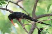 Phoeniculus_purpureus09.Lake_Bogoria.Kenia.7.12.2014
