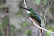 084.010.Galbula_ruficauda001.Male.Pantanal.Brazylia.11.11.2013