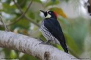 Melanerpes_formicivorus006.Female.San_Gerardo_de_Dota.Costa_Rica.9.12.2015
