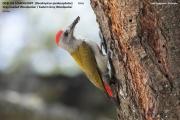 087.174.Dendropicos_spodocephalus001.Male.Langano.Etiopia.21.11.2009