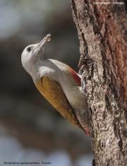 Dendropicos_spodocephalus006.Female.Langano.Etiopia.21.11.2009