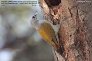087.174.Dendropicos_spodocephalus002.Female.Langano.Etiopia.21.11.2009