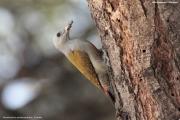 Dendropicos_spodocephalus003.Female.Langano.Etiopia.21.11.2009