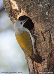 Dendropicos_spodocephalus005.Female.Langano.Etiopia.21.11.2009