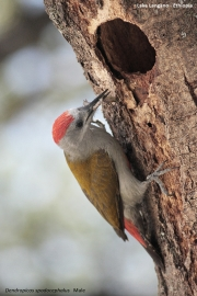 Dendropicos_spodocephalus008.Male.Langano.Etiopia.21.11.2009