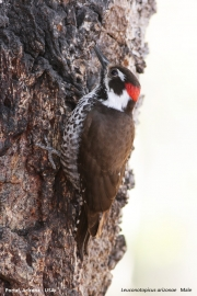 Leuconotopicus_arizonae002.Male.Portal.Arizona.USA.MJ.25.03.2013