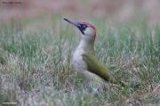 Picus_viridis008.MJ.Sikory.15.10.2011