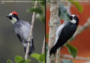 087.137.Melanerpes_formicivorus001.San_Gerardo_de_Dota.Costa_Rica.7.12.2015