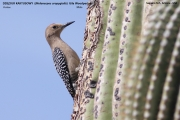 087.154.Melanerpes_uropygialis001.Male.Saguaro_N.P.AZ.USA.MJ.27.03.2013