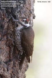 087.204.Leuconotopicus_arizonae001.Male.Portal.Arizona.USA.MJ.25.03.2013