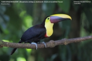 088.1.Ramphastos_swainsonii01.Selva_Verde_Lodge.CR.3.12.2015