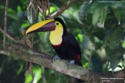 Ramphastos_swainsonii02.Selva_Verde_Lodge.CR.2.12.2015