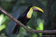 Ramphastos_swainsonii03.Selva_Verde_Lodge.CR.2.12.2015