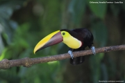 Ramphastos_swainsonii04.Selva_Verde_Lodge.CR.3.12.2015