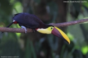 Ramphastos_swainsonii05.Selva_Verde_Lodge.CR.3.12.2015