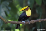 Ramphastos_swainsonii06.Selva_Verde_Lodge.CR.3.12.2015