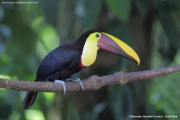 Ramphastos_swainsonii07.Selva_Verde_Lodge.CR.2.12.2015