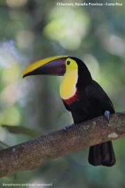 Ramphastos_swainsonii11.Selva_Verde_Lodge.CR.3.12.2015