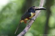 Pteroglossus_torquatus02.Selva_Verde_Lodge.CR.2.12.2015