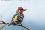 088.3.Trachyphonus_erythrocephalus0007.Okolice_Lake_Natron.Tanzania.28.03.2013