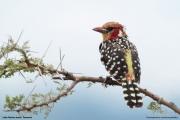 Trachyphonus_erythrocephalus0003.Okolice_Lake_Natron.Tanzania.28.03.2013