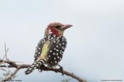 Trachyphonus_erythrocephalus0005.Okolice_Lake_Natron.Tanzania.28.03.2013