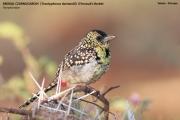 088.3.Trachyphonus_darnaudii01.Okolice_Yabelo.Etiopia.19.11.2009