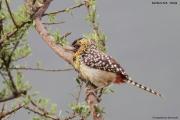 Trachyphonus_darnaudii06.Samburu_N.R.Kenia.PJ.1.12.2014