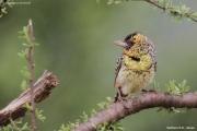 Trachyphonus_darnaudii07.Samburu_N.R.Kenia.PJ.1.12.2014