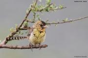 Trachyphonus_darnaudii08.Samburu_N.R.Kenia.PJ.1.12.2014