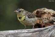 Trachyphonus_darnaudii10.Mpala_R.C.Kenia.PJ.3.12.2014