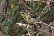 Trachyphonus_darnaudii02.Okolice_Yabelo.Etiopia.19.11.2009