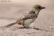 Trachyphonus_usambiro02.Lake_Manyara_N.P.Tanzania.18.03.2013