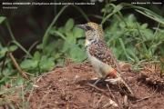 088.3.Trachyphonus_darnaudii_usambiro01.Lake_Manyara_N.P.Tanzania.18.03.2013