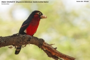 088.3.Pogonornis_bidentatus01.Awasa.Etiopia.12.11.2009