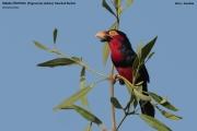Pogonornis_dubius01.Kotu.Gambia.17.01.2009
