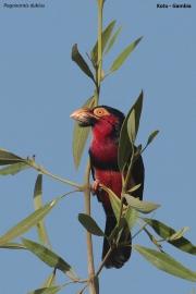 Pogonornis_dubius02.Kotu.Gambia.17.01.2009