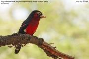 088.118.Pogonornis_bidentatus01.Awasa.Etiopia.12.11.2009