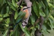 Merops_bullockoides011.Nguma.Okavango.Botswana.1.03.2014