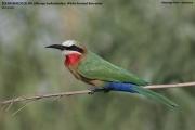 Merops_bullockoides001.Drotsky_Camp.Okavango.Botswana.26.02.2014