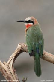 Merops_bullockoides002.Oldonyosambu.Tanzania.29.03.2013