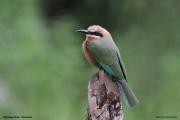 Merops_bullockoides013.Nguma.Okavango.Botswana.1.03.2014