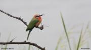 Merops_bullockoides014.Drotsky_Camp.Okavango.Botswana.27.02.2014