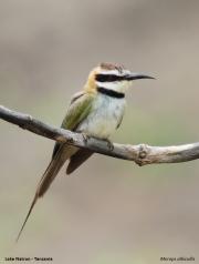 Merops_albicollis008.Lake_Natron.Tanzania.20.03.2013
