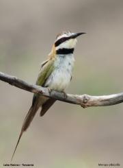 Merops_albicollis010.Lake_Natron.Tanzania.20.03.2013