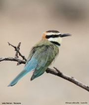 Merops_albicollis011.Lake_Natron.Tanzania.20.03.2013