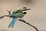Merops_albicollis014.Lake_Natron.Tanzania.20.03.2013