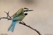 Merops_albicollis015.Lake_Natron.Tanzania.20.03.2013
